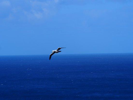 Isla Norfolk, Australia: sea bird, a Booby.
