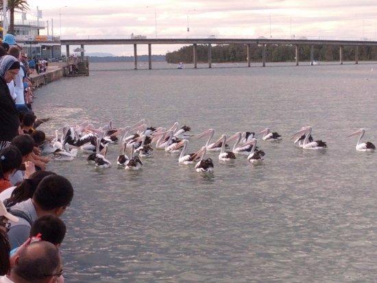The Entrance, Avustralya: Birds feeding time