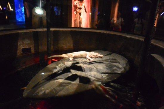 The Lost Chambers Aquarium: Albino Crocodile