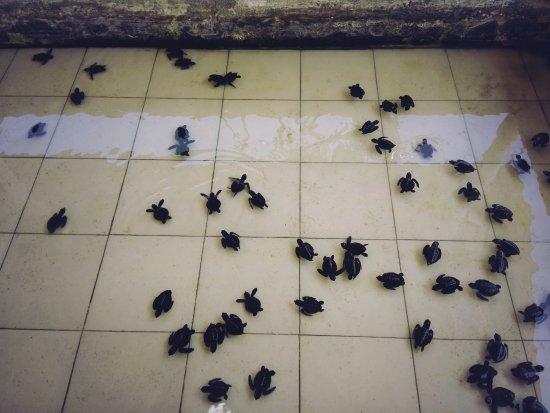 Tanjung Benoa, Indonesia: Breeding Turtles