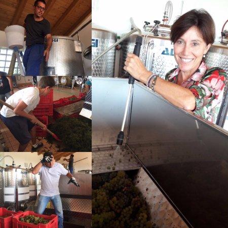 Golasecca, Italia: vendemmia ... in cantina