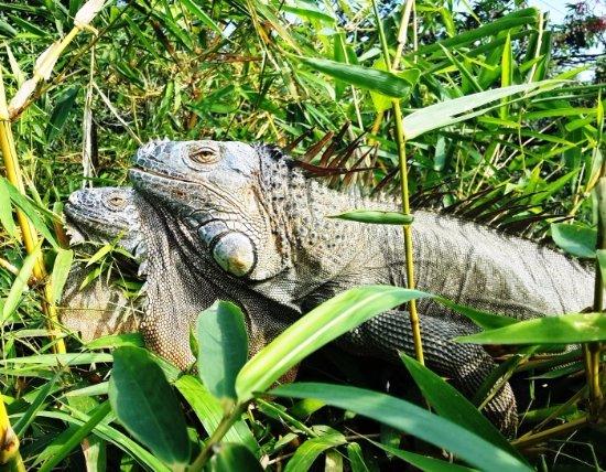 Σάντα Άνα, Κόστα Ρίκα: Iguanas
