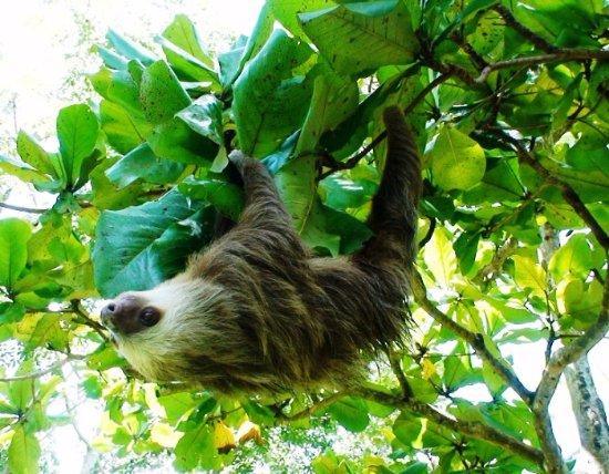 Σάντα Άνα, Κόστα Ρίκα: Sloth in the rainforest of Costa Rica