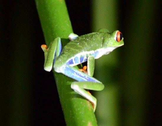 Σάντα Άνα, Κόστα Ρίκα: Red eyed frog
