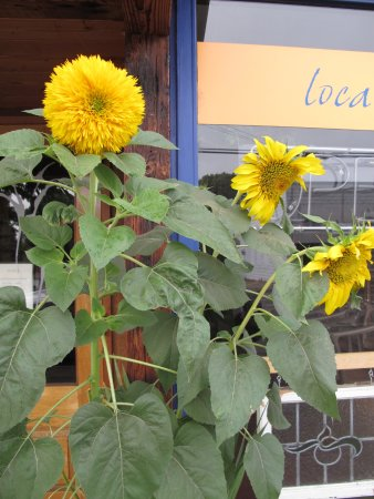 Amity, OR: Sunflowers
