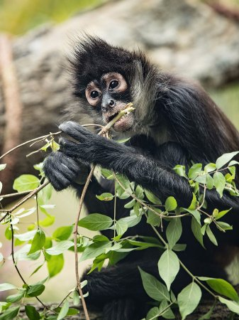 Nashville Zoo: Spider Monkey: Treetop Village - photo by Amiee Stubbs