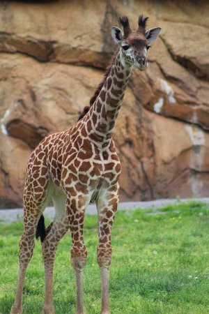 Nashville Zoo: Masai Giraffe - photo by Katie Gregory