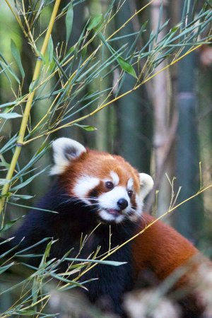 Nashville Zoo: Red Panda - photo by Quentin Thompson