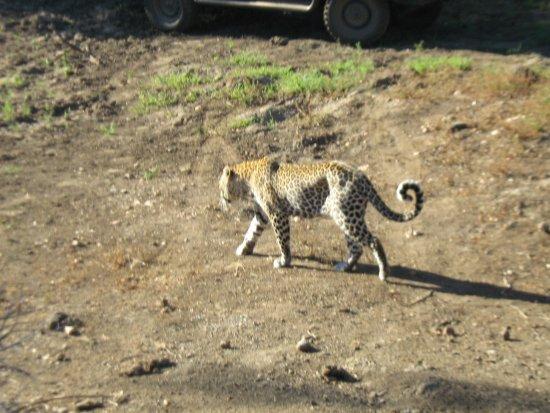Timbavati Private Nature Reserve, Zuid-Afrika: The Leopard
