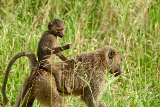 Tarangire National Park, Tanzania: Transporte gratuito