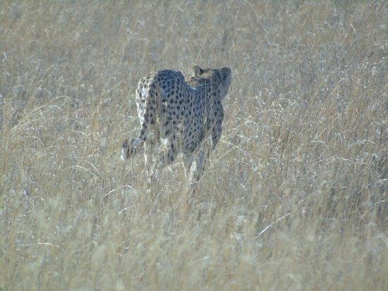 Arusha Region, Tanzania: oddalający się gepard