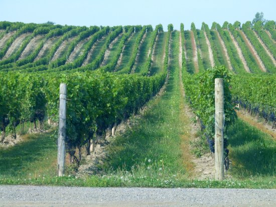 Vineland, Canada: The Vineyards