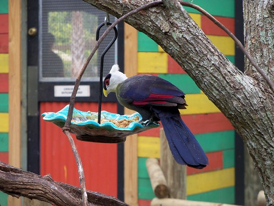 Brevard Zoo: White-Crested Turaco