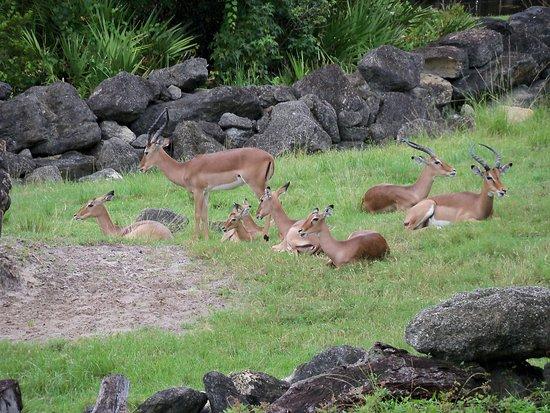 Melbourne, FL: Impalas