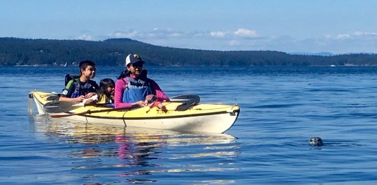 Eastsound, WA: A curious seal pup visits one of our kayak tours.