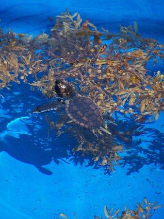 Juno Beach, Floride : Baby Seaturtle