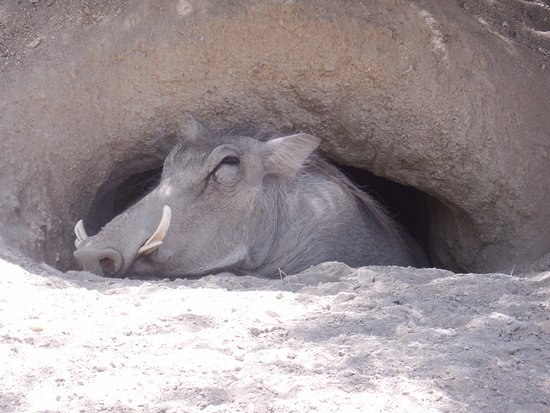 Palm Desert, CA: Warthog