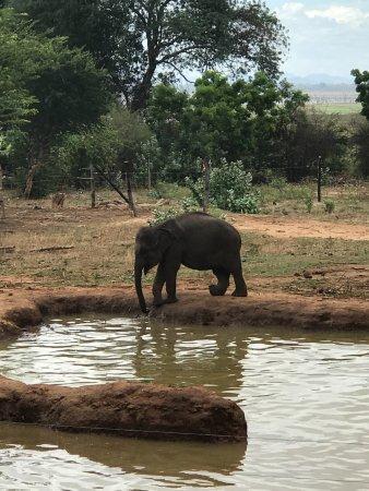 Uda Walawe National Park, Sri Lanka: Elephant playing near the pond