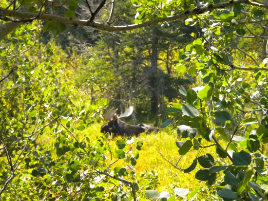 West Glacier, MT: Our visit with a large Bull Moose
