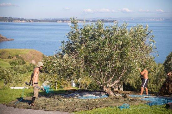 Ilha Waiheke, Nova Zelândia: Harvest time