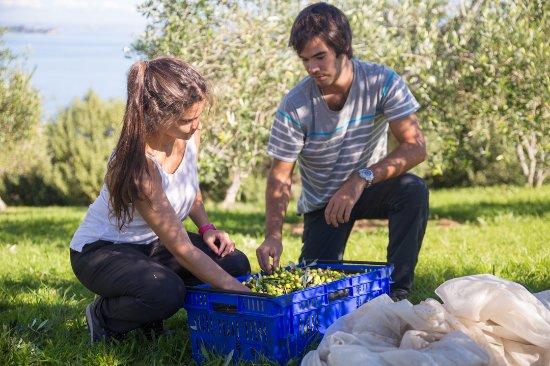 Ilha Waiheke, Nova Zelândia: Picking olives