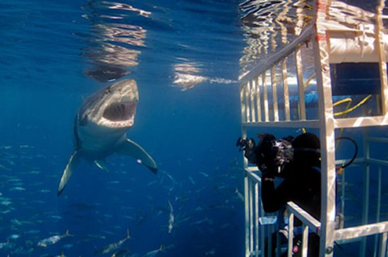 Shark Diving and Viewing Full Day...