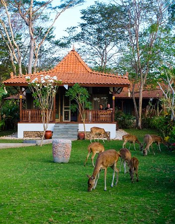 West Bali National Park, Indonesia: The real Menjangan (deers) in front of our Forest Villa Bedroom.
