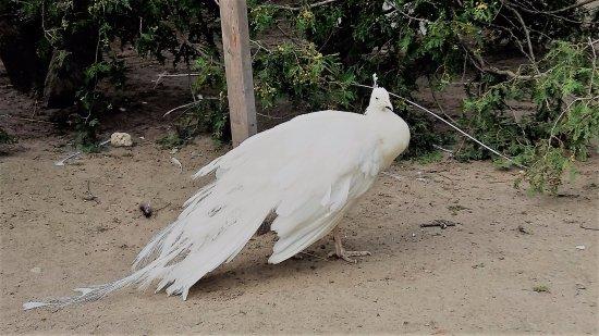 Waterloo Park: White Peacock