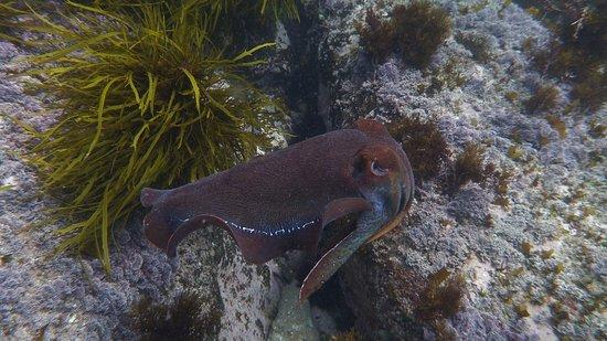 Eden, Australie : Cuttlefish