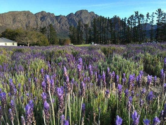 Lavender Farm Guest House Franschhoek Image