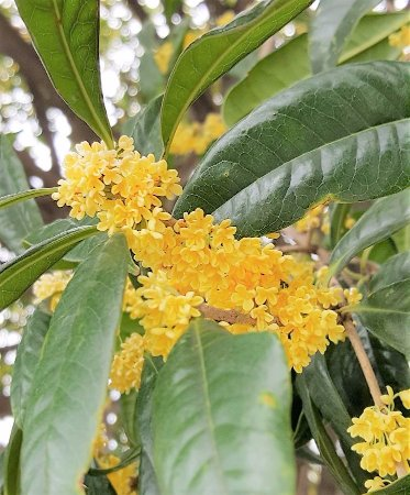 Dujiangyan, จีน: Osmanthus flowers. Many osmanthus trees in this attraction