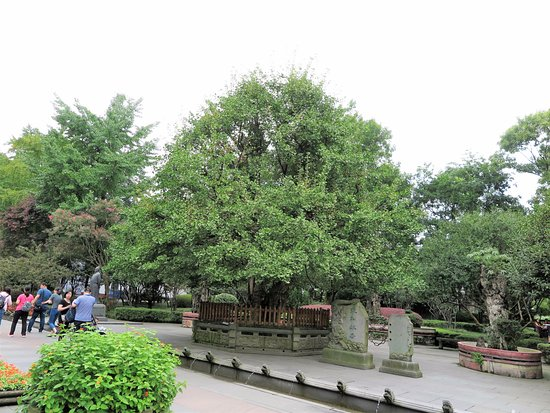 Dujiangyan, จีน: This grand gingko tree is 1,700 years old