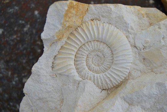 Mornsheim, Germany: Ammonit, gefunden im Besuchersteinbruch Mühlheim