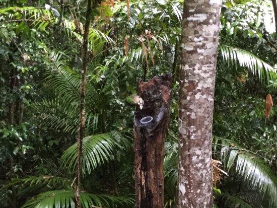 Yungaburra, Australia: Mit ein wenig Geduld kann man den Regenwald erleben