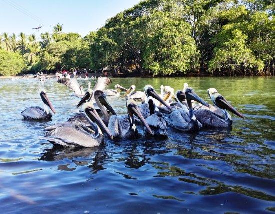 Σάντα Άνα, Κόστα Ρίκα: Pelicans in Guanacaste