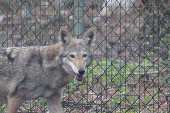 Awendaw, SC: Red wolf