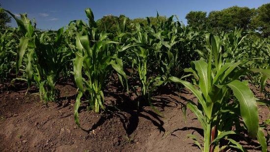 Alamosa, Колорадо: Corn growing in early summer