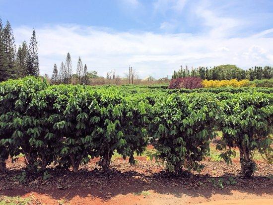 Kalaheo, Hawaje: Beans grow here