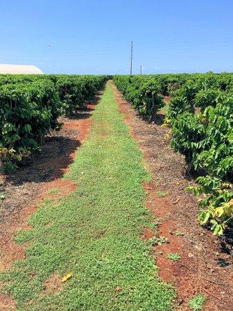 Kalaheo, Hawaje: More Beans