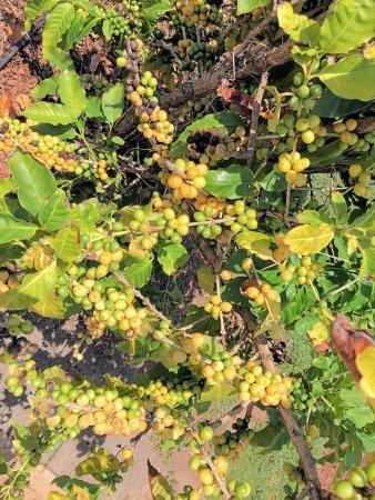 Kalaheo, Hawaje: da bean is green