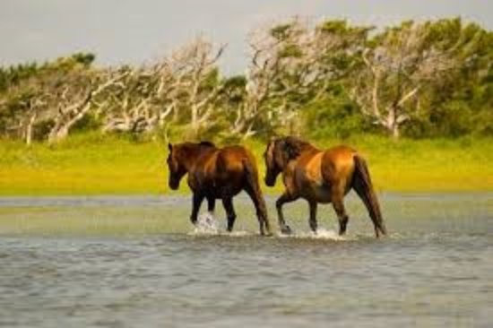 Beaufort, Karolina Północna: The wild horses you will see on Carrot Island