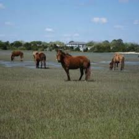 Beaufort, Karolina Północna: The horses grazing on Carrot Island