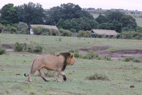 Porini Lion Camp: See the Camp? See the lion!