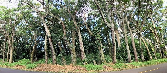 Kalaheo, Havai: Tree Roadside