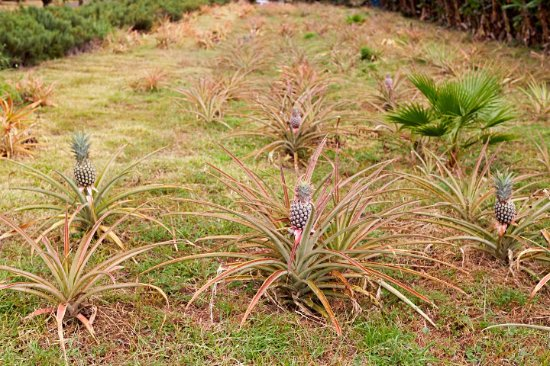 Вайкуку, Гавайи: Pineapples!