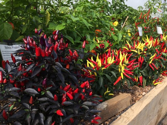 Loddiswell, UK: A small selection of the chillis grown