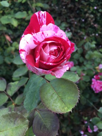 Berkeley, CA: Pink and red