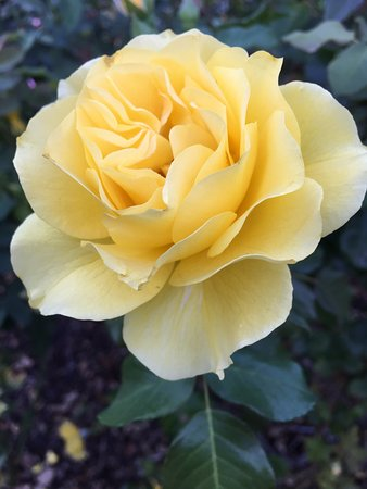 Yellow rose of texas picture of berkeley municipal rose garden berkeley municipal rose garden yellow rose of texas mightylinksfo