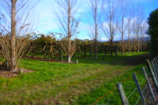 Motueka, New Zealand: Over looking kiwi fruit orchards