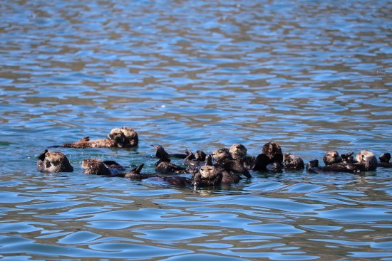 Central Coast Sailing Charters: A raft of Otters! We have a 100 Otters that live in the bay.